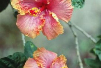 Some hibiscus flowers have petals with ruffled edges.