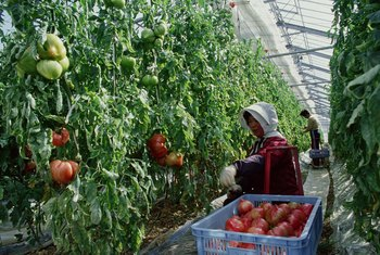 Hydroponically grown tomatoes must receive support when plants start bearing fruit.