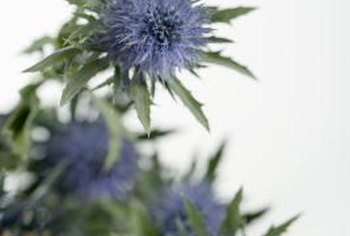 Sea holly's spiky leaves and flower heads add interesting textures to any garden.