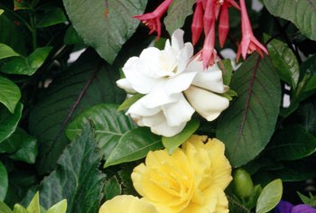 Some begonia varieties produce showy flowers.