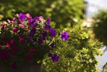 Trailing petunias grow especially well from cuttings.