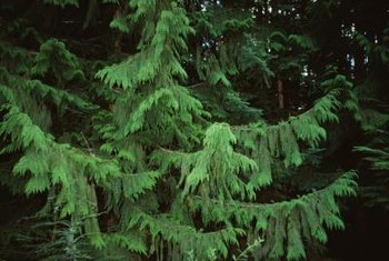 Most fir trees grow well in moist soil.