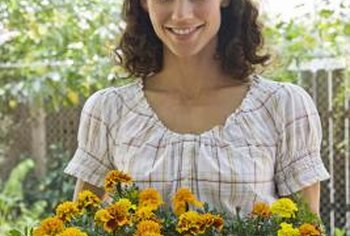 Too much nutrition triggers excessive foliage but impedes flower growth in marigolds.