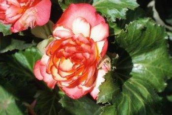 Double begonia flowers come in pink, red and bi-color.