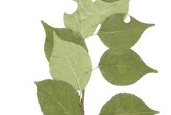 Poplar leaves have a flat petiole, which makes them tremble in the breeze.