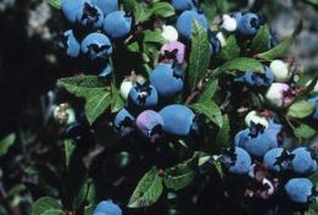 Healthy blueberry bushes display lush, green foliage and plump, deep blue fruit.