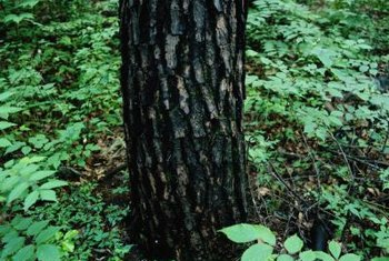 Oak bark splits and separates as the tree ages.