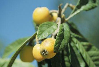 Loquats, also called Japanese plums, have a furry orange rind.
