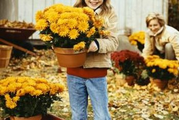 Plant mums in the landscape or containers for fall beauty.