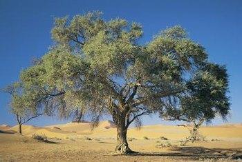 mustard bush evolved to grow in hot arid regions
