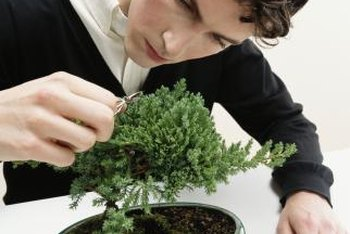 Dwarf juniper plants make satisfying bonsai subjects for novices or experienced bonsai growers.