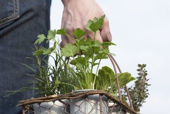 Potted herbs can be moved to a sunny location for part of the day.