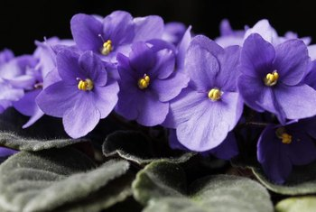 African violets can be alone or combined with other plants in a window box.