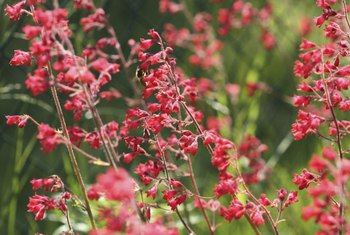 Good cut flowers, coral bells flowers are red, pink or white.