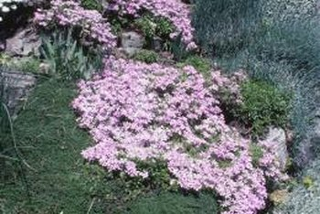 Creeping phlox is ideal for borders, rock gardens, rock walls and planters.