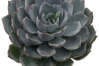 Echeveria leaf rosettes resemble rose flowers.