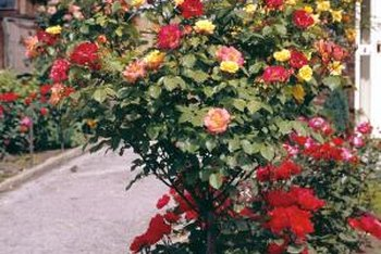 Grafting allows different types of roses to grow from one root stock.