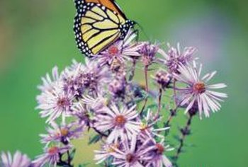 Monarch butterflies are attracted to brightly-colored flowers such as native asters.