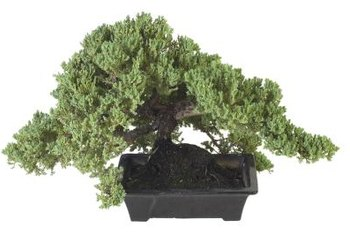 A juniper bonsai tree offers an old look in a small package.