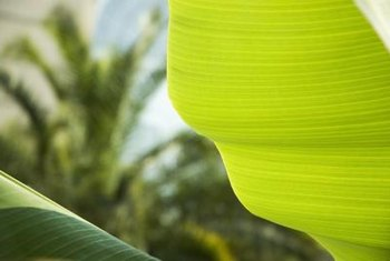 Canna leaves resemble banana plant leaves.