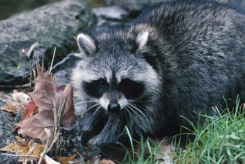 Get rid of raccoons, mice, and other pests from under your mobile home before they cause significant damage.