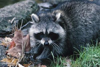Raccoons don't mind getting up close and personal with your plants.