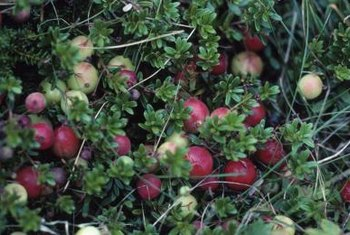 Bushes with cranberrylike fruit are likely highbush cranberry plants.