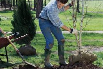 Plant fruit trees during dormancy, when they are not actively growing.