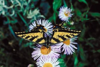 Asters come in more than 600 species, and some attract butterflies.
