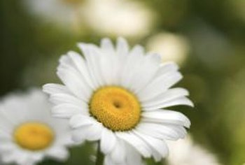 Daisies that don't get ample water during hot weather wilt rapidly.