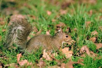Squirrels are drawn to loose soil and tender plants.