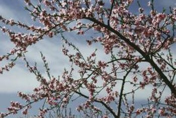 Peach blossoms are most susceptible to freeze damage when they are in full bloom.