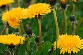 Dandelion greens make a healthy addition to summer salads.