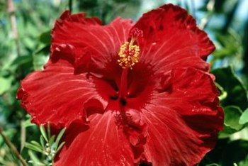Hibiscus produces the largest flower of any perennial.