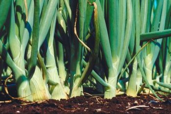 Proper onion start fertilization will result in large, sweet-tasting bulbs.