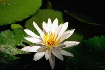 People sometimes mistakely refer to the lotus flower as a water lily.