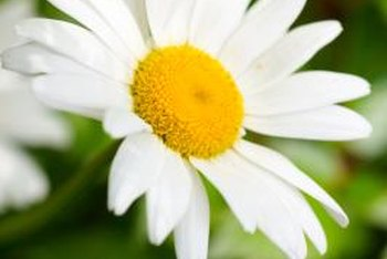 A daisy is two flowers in one, a design that attracts bees.