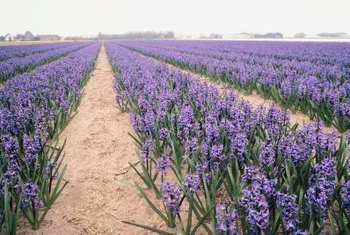 Hyacinths come in over 30 varieties, including multiflora and single bloom types.