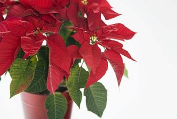 Fertilize poinsettias to keep them growing year-round.