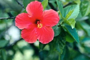 Water hibiscus plants deeply before a freeze to keep their soil warm.