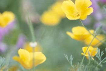Hundreds of wild buttercups exist, but Persian buttercups are common in gardens.