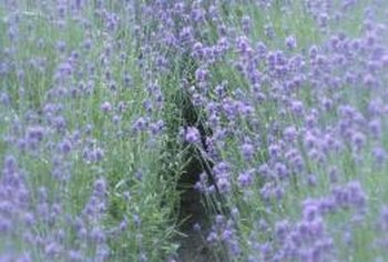 Lavender is commonly used in desserts, tea and potpourri.