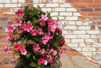 Sundaville Pink produces masses of intense pink flowers.