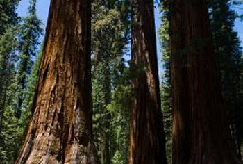 The geographic ranges of giant sequoias and coast redwoods don't overlap.