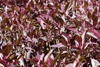The purple pigments in leaves and flowers are called anthocyanins.
