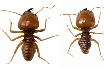 To distinguish termites from ants, look for straight antennae, not bent.