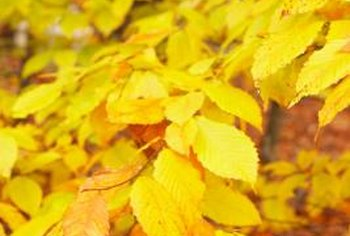 American beech is a low-maintenance tree that will provide shade (until its leaves drop).
