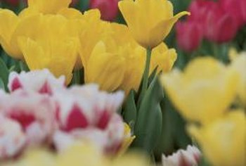 Tulips can come back year after year in garden beds with proper care.