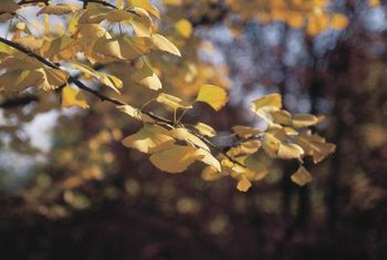 Ginko trees have a bright yellow fall color.