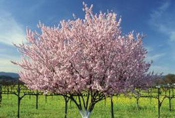 Fruit trees are sprayed throughout budding, blooming and fruiting.